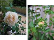 Roses2009