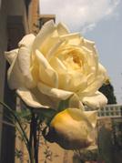 Rose102