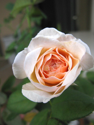 Rosemary2013