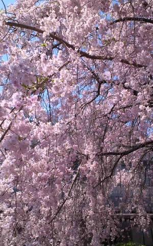 Sakuracampus