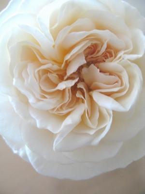 Rose20141