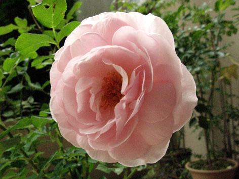 Rosemary3